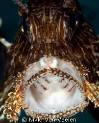 Lionfish yawning taken at Marsa Bareika with E300 and 105... by Nikki Van Veelen 